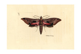 Eumorpha Achemon, Achemon Sphinx Giclee Print by Richard Polydore Nodder