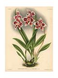 Queen Emma Variety of Odontoglossum Crispum Orchid Giclee Print
