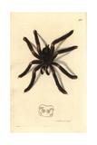 Pinktoe Tarantula, Avicularia Metallica Giclee Print by Richard Polydore Nodder