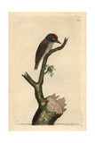 Least Woodpecker Picus Minimus Giclee Print