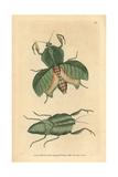 Leaf Mantis, Choeradodis Strumaria Giclee Print