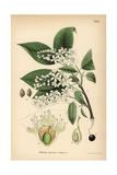 Bird Cherry or Hackberry, Prunus Padus Giclee Print