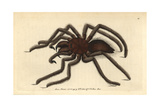 Bird-Catching Spider or Pink-Toed TarantulaAranea Avicularia (Avicularia Avicularia) Giclee Print