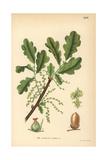 English Oak, Quercus Robur Digitálně vytištěná reprodukce