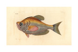 Indian Humphead, Kurtus Indicus Giclee Print by Richard Polydore Nodder