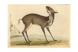 Pygmy Musk Deer, Moschus Pygmaeus, Neotragus Pygmaeus, Capra Pygmea Giclee Print