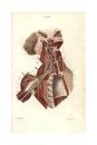 Brachial Plexus Giclee Print