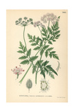 Japanese Hedge Parsley, Torilis Japonica Giclee Print