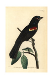 Red-Shouldered Tanager, Tachyphonus Phoenicius Giclee Print