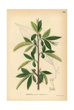Crack Willow Tree, Salix Fragilis Giclee Print