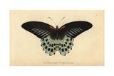 Polymnestor Butterfly or Blue Mormon ButterflyPapilio Polymnestor Giclee Print