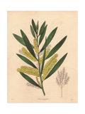 Acacia Longifolia, Long-Leaved Acacia Giclee Print