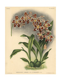 Leopardinum Variety of Odontoglossum X Adrianae Hybrid Orchid Giclee Print
