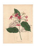 Quisqualis Indica, Chinese Honeysuckle Giclee Print