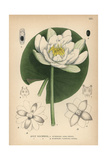 European White Waterlily, White Lotus or Nenuphar, Nymphaea Alba Giclee Print