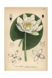 European White Waterlily, White Lotus or Nenuphar, Nymphaea Alba Giclee Print