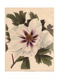 Paeonia Moutan, Peony Giclee Print