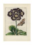 Blue Velvet Auricula Giclee Print