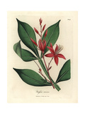 Red Flowered Bitter Quassia, Quassia Amara Giclee Print by James Sowerby