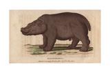 Hippo or HippopotamusHippopotamus Amphibius Giclee Print