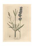 Blue Flowered Lavender, Lavandula Spica Giclée-Druck von James Sowerby