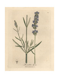 Blue Flowered Lavender, Lavandula Spica Giclee Print by James Sowerby