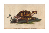 African Tortoise, Psammobates Geometricus Giclee Print