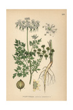Fool's Parsley, Aethusa Cynapium Giclee Print