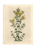 Yellow Flowered Perforated St John's Wort, Hypericum Perforatum Giclee Print by James Sowerby