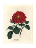 Crimson Officinal Rose, Rosa Gallica Giclee Print by James Sowerby