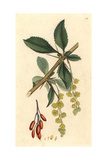Common Barberry, Berberis Vulgaris Giclee Print by James Sowerby