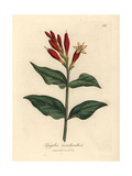 Scarlet Flowered Indian Pink, Spigelia Marilandica Giclee Print by James Sowerby