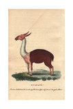 Guanaco, -A Species of Camel Native to the New World-Lama Guanicoe Giclee Print