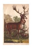 Stag Deer Cervus Elaphus Giclee Print
