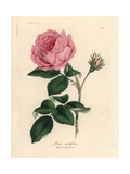 Large Pink Hundred-Leaved Rose, Rosa Centifolia Giclee Print by James Sowerby