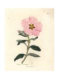 Pink Flowered Cretan Cistus, Cistus Creticus Giclee Print by James Sowerby