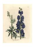 Blue Flowered Wolf's Bane or Monk's Hood, Aconitum Napellus Giclée-Druck von James Sowerby