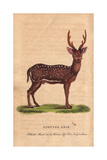 Spotted Axis, Chital, Cheetal, Spotted Deer or Axis Deer Axis Axis (Cervus Axis) Giclee Print