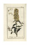Goldenrod Giclee Print