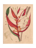 Heliconia Bicolor, Two-Coloured Heliconia Giclee-vedos