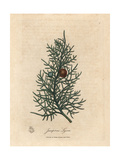 Branch and Berries of the Cedar Tree, Juniperus Lycia Giclee Print by James Sowerby