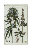 Cannabis, Cannabis Sativa Giclee Print