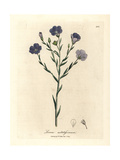Blue Flowered Flax, Linum Usitatissimum Giclee Print by James Sowerby