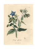 Blue Flowered Borage, Borago Officinalis Giclee Print by James Sowerby