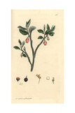Bilberry, Vaccinum Myrtillus Giclee Print by James Sowerby