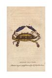 Indian Sea Crab Giclee Print