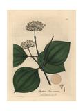 White Flowered Poison Nut, Strychnos Nux Vomica Giclée-Druck von James Sowerby