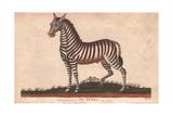 African Zebra or Equus Zebra Giclee Print