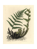 Male Polypody Fern, Polypodium Filix Mas Giclée-tryk af James Sowerby