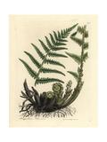 Male Polypody Fern, Polypodium Filix Mas Giclée-Druck von James Sowerby